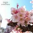 熱海の桜と美味しいも…