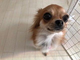 Resultado de imagen para 犬 chihuhaua 美しい