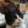 【拡散希望】黒白♂猫…