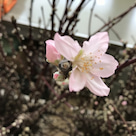 桃の花の記事より