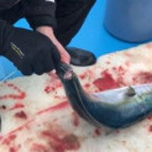 魚の脳締め・血抜き・…