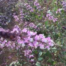 シナモンバジルの花の…