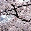 桜のボトルフラワー