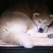 大きな愛玩犬 秋田犬…
