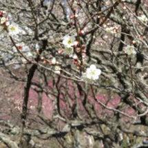 梅まつりと糸川遊歩道