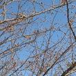 河津桜が・・・・・・