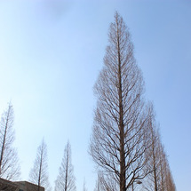 メタセコイヤの並木道