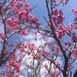 桜、満開✳︎