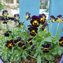 石川園芸さんの花達
