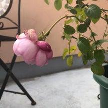冬越しのバラ