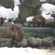 温泉とニホンザル