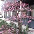 鶴舞乃城のまわりで春…