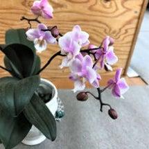 胡蝶蘭が咲きました!