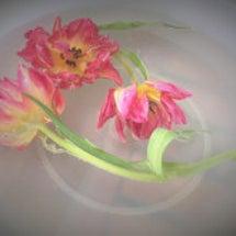 チューリップの氷中花