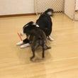今週の犬の幼稚園(*…