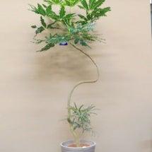 観葉植物 グリーンア…