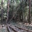 明日は、大きな木の伐…