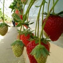 strawberry…