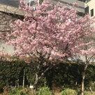 河津桜がきれいですの記事より