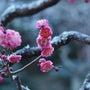 鎌倉 海蔵寺も紅梅