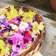 花摘み…ビオラとパン…