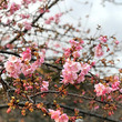 パーティで桜を飾るな…