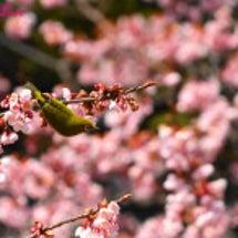 東京の春:寒桜とメジ…