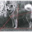 秋田犬標準(スタンダ…
