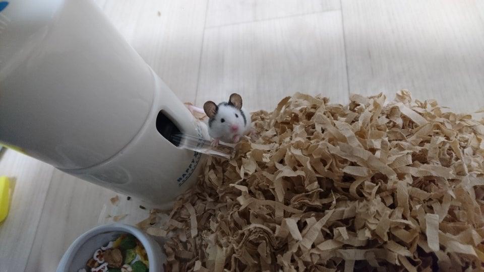 ケージの隅にいる小さいネズミみたいなのはハムスターではなくパンダマウス、ハツカネズミをペットに改良した小さいネズミです。 大きさ