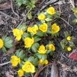 春を呼ぶ節分草