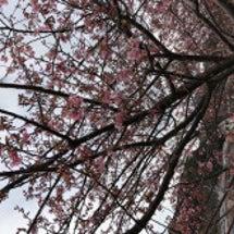 河津桜満開 ではない
