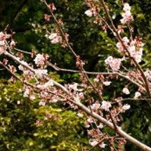 薄寒桜が咲いています
