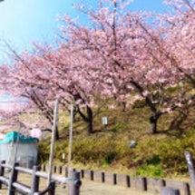 まつだ桜まつり① 咲…