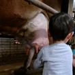 牛さんの乳搾り体験!
