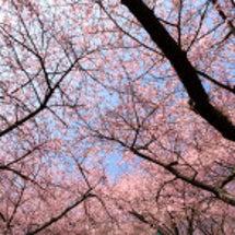 まつだ桜まつり② 桜…