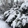ヨーロッパコマドリなど@雪の公園にての画像