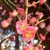 満開の梅の花の画像