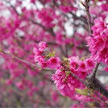 ☆沖縄の桜