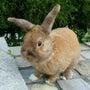 我が家の長老ウサギ