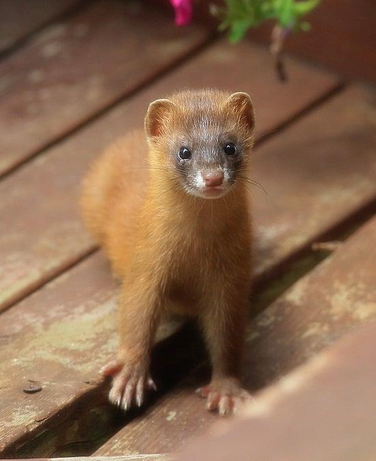 番外編その165:チョウセンイタチ(Siberian Weasel ...
