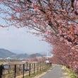 河津桜に春を感じ・・…