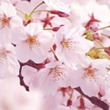 悲しみの中で桜を愛で…