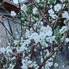 我が家の梅の花咲いてました~の記事より
