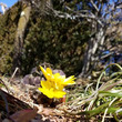 ★春の訪れ 福寿草 …