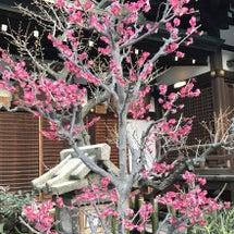 梅祭り雛祭りピンクピ…