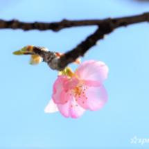 ☆河津桜・咲き始めと…