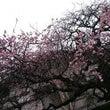 梅が咲いてます