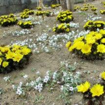 春が来た!福寿草、セ…