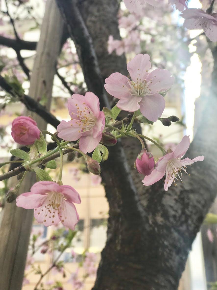 桜のような存在