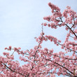 今年も河津桜がきれい
